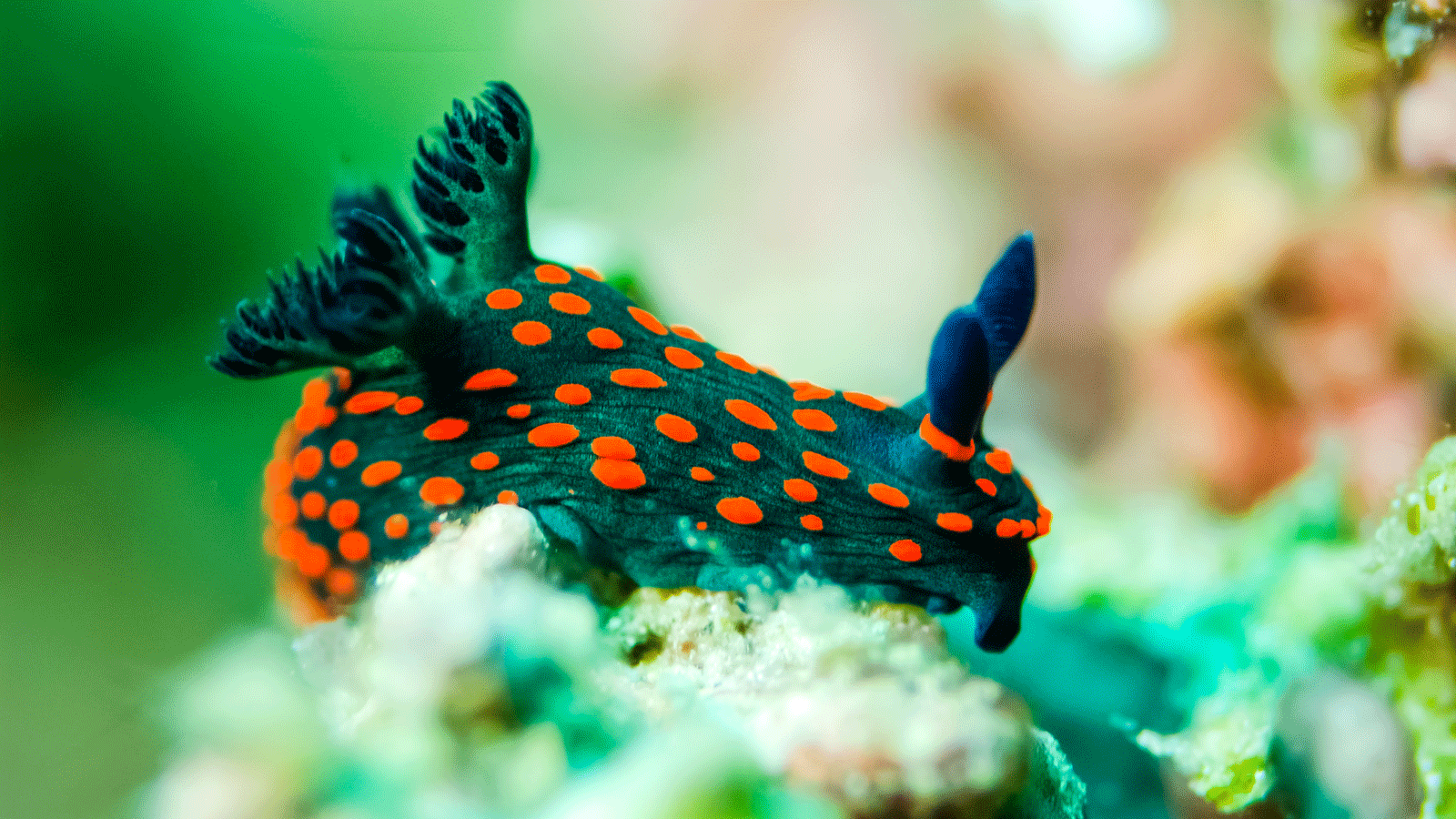 The Colorful Life of Costa Rica\'s Nudibranch